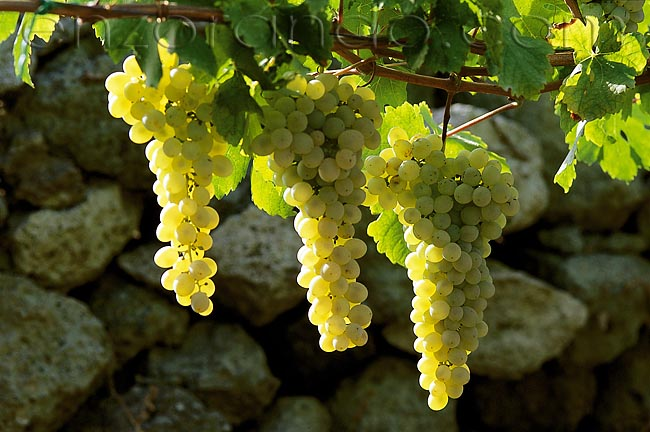 vino-uva-forastera-001
